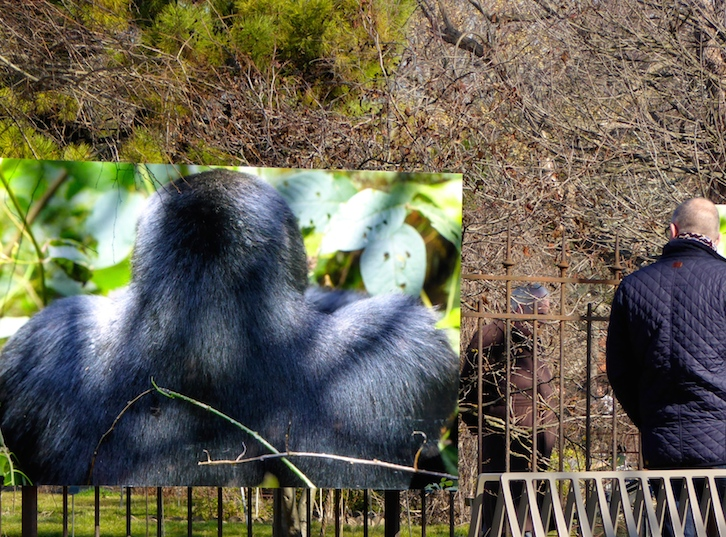 expo-photo-grands-singes-jardin-des-plantes-3